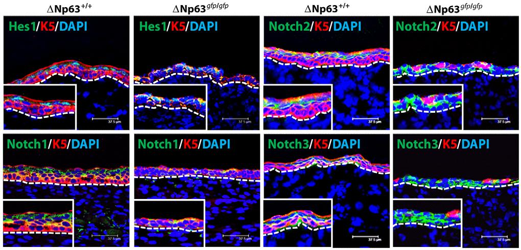 DNp63 and epithelial development 779 Fig. 6. Effects of DNp63 loss on components of the Notch signaling pathway. Dorsal skin sections at E15.
