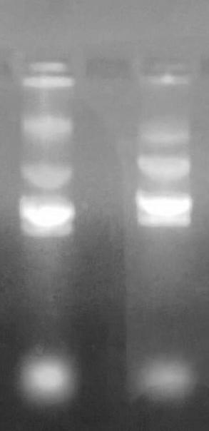 A3.1.2 Isolation of plasmid DNA To isolate endolysin from TA vector, plasmid DNA of ptaendolysincc corrected was isolated.