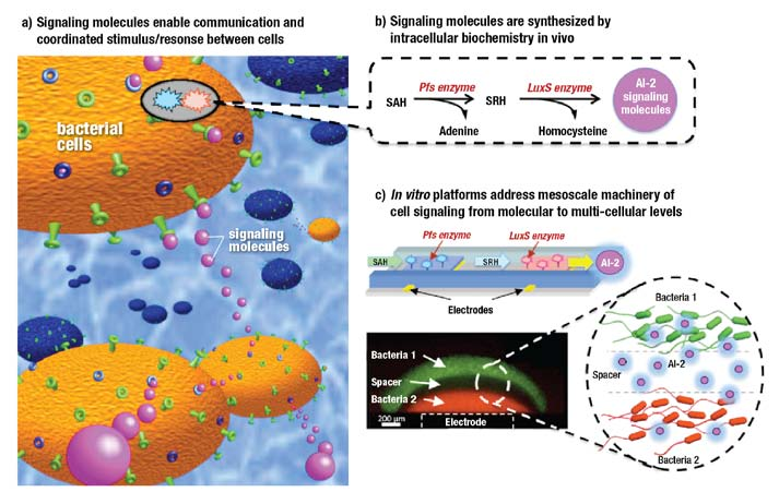 Enlisting Bacteria as an Energy Workforce Cell signaling enables large colonies of cells to coordinate their functions and work in concert, presenting mesoscale opportunities to disarm pathogens and