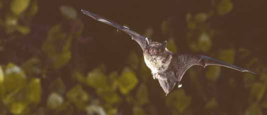 On the Cover: A Red Bat perched in autumn foliage is one of several species of bats that make annual migrations. Other species are year round residents that hibernate in caves, mines and buildings.