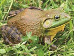 Chapter 11 Trade in Specimens of Appendix II Species Invasive alien species The North-American bullfrog is a known example of an invasive species in Europe and South-Korea.