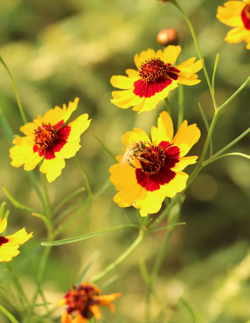 Sunflower bee on plains coreopsis.