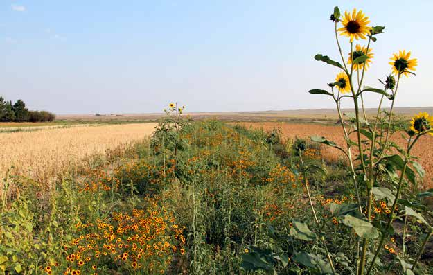 Wildflower buffer supports pollinators and beneficial insects adjacent to organic crops.
