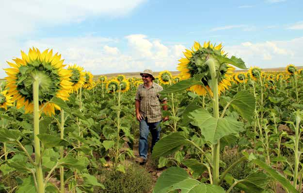 ) Doug Crabtree of Vilicus Farms standing in his sunflower crop field.