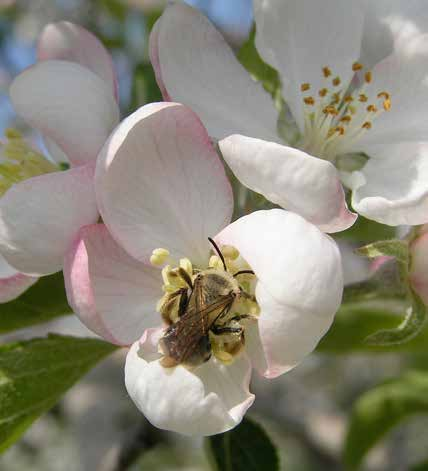 Choose Plants That Complement a Particular Crop Bees are active as adults before crops come into bloom and are still active afterwards.