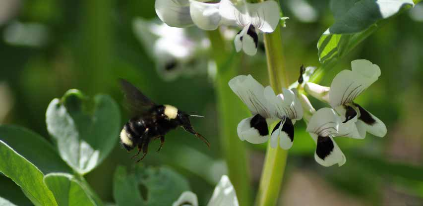Cover Crop Termination and Residue Management While necessary to prepare for cash crop rotation, terminating a cover crop can be difficult for pollinators, especially if the cover crop is still