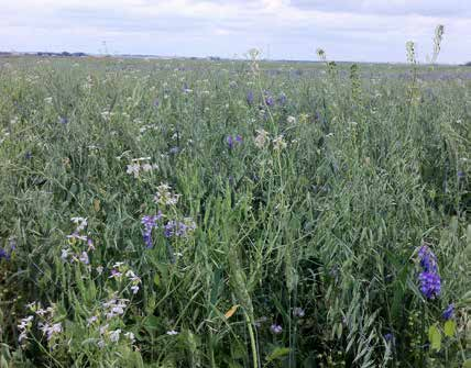 The risks to bees from cover crop termination include direct mortality (such as being crushed by cultivation or roller-crimping equipment), and indirect harm such as the rapid loss of available food