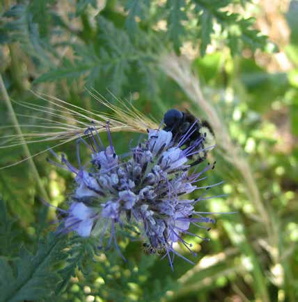 Limitations of Cover Crops A bumble bee nectars on a phacelia bloom. Phacelia is a promising plant for pollinator-friendly cover cropping. (Photograph by Katharina Ullmann, The Xerces Society.