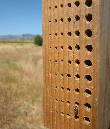 "The holes are usually 5/16"" in diameter, the size preferred by blue orchard bees. These blocks are very simple to make."