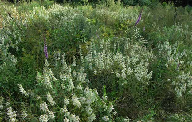 A mix of native wildflowers, including wild lupine, dotted mint, and marsh blazing star provides continuous forage for bumble