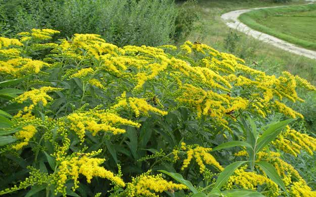 ) Goldenrod is an excellent late-season source of forage for new bumble been queens in the fall.