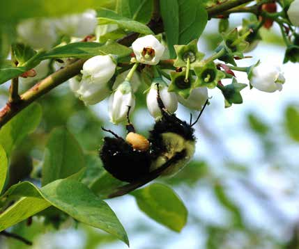 8 Insecticides and Pollinators Bumble bees are important pollinators of blueberry.