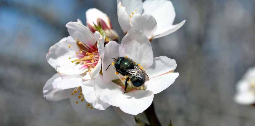 Native bees continue to forage or even nest in the sprayed area throughout the entire time the area is toxic, which may last from an hour to more than two weeks.