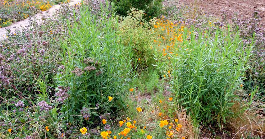 Appendix B: Plants for Bees COMMON NAME SCIENTIFIC NAME MAX HEIGHT WATER NEEDS NOTES Mid Late Season Blooming Species Big saltbush Atriplex lentiformis 20 L Tolerates clay soils; can be extremely