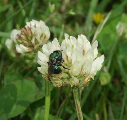 Appendix B: Plants for Bees Cover Crops for Pollinators The following list provides examples of cover crops that have value to wild bees as well as honey bees.