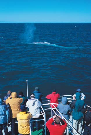 TOM WALMSLEY/NATUREPL.COM Wildlife enthusiasts watch a Blue whale (Balaenoptera musculus) blowing in the Atlantic Ocean.