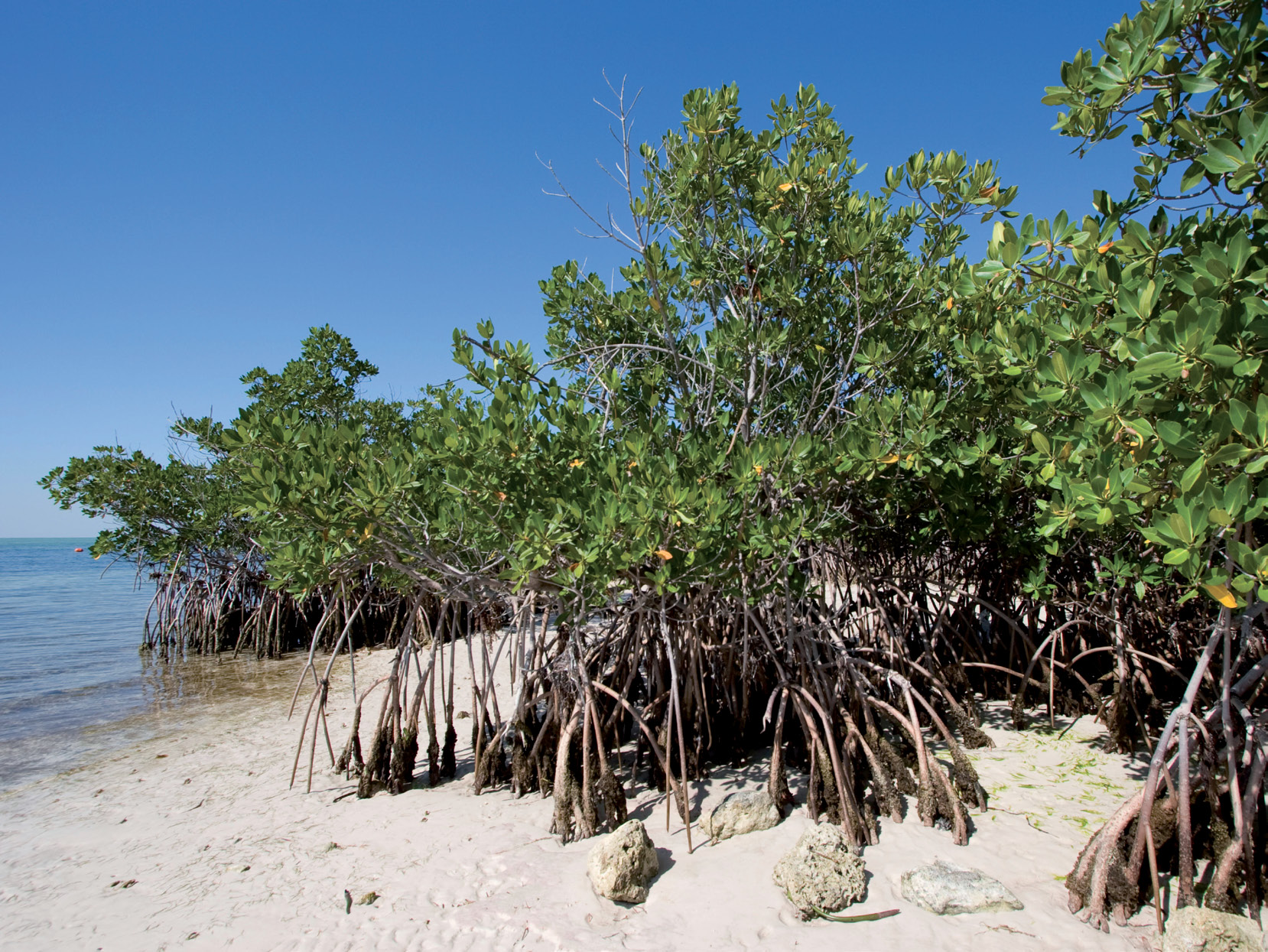 Sometimes referred to as walking trees, mangroves are a natural way to stabilize