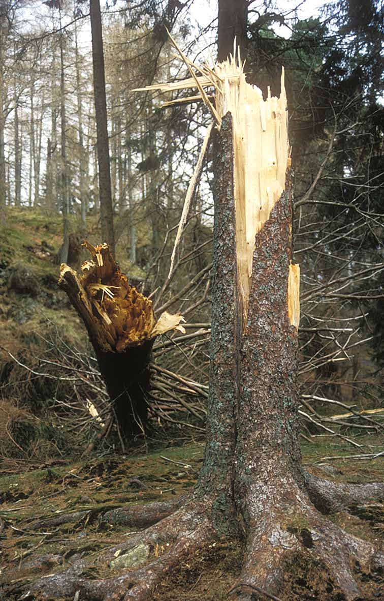 Living with Storm Damage to Forests Based on fundamental physics, a tree could be assumed to bend (as a function of the stem wood MOE) to a point of no return under static wind loading, if a constant