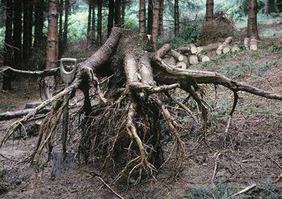 Living with Storm Damage to Forests ter) tree of a given height will generally prove able to withstand higher wind speeds than a slenderer one.