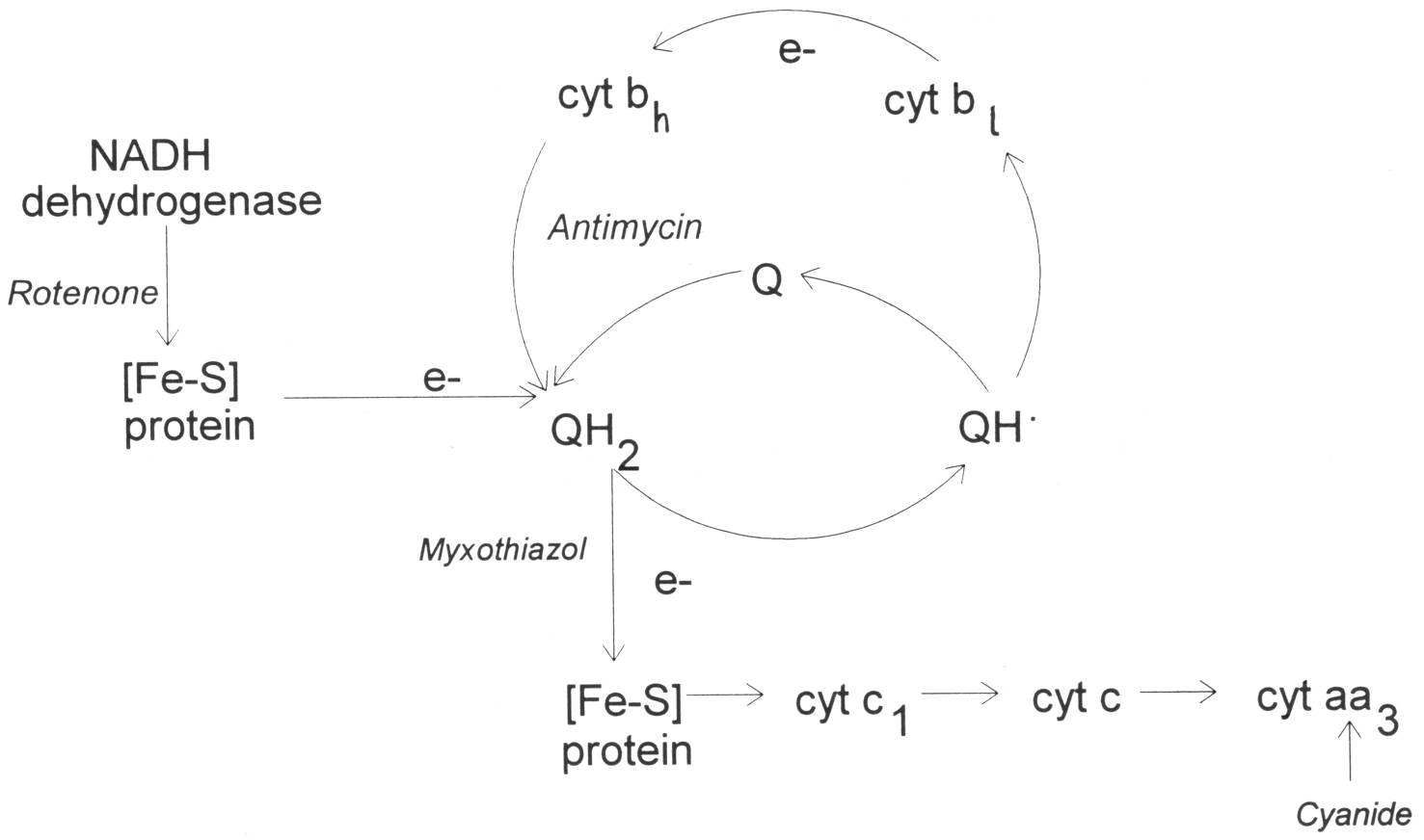 Superoxide production by the mitochondrial respiratory chain 5 Fig. 1. Scheme of the electron transport chain and the Q-cycle.