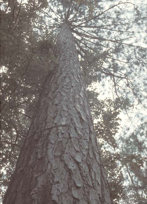 ARE MY PINE TREES ready to thin? As a landowner, you can evaluate your pine plantation by using the five criteria described above and by using the Thinning Graph on page 5.