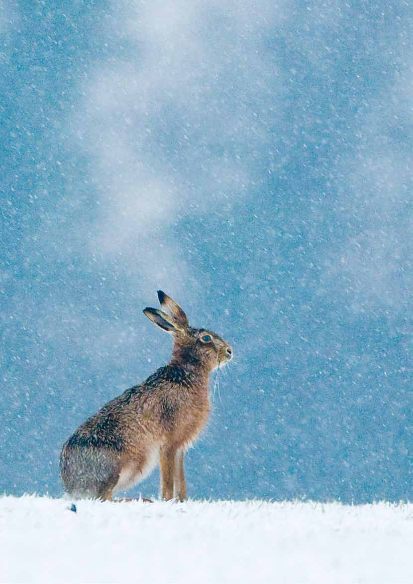 Brown hares have benefited from habitat provided for