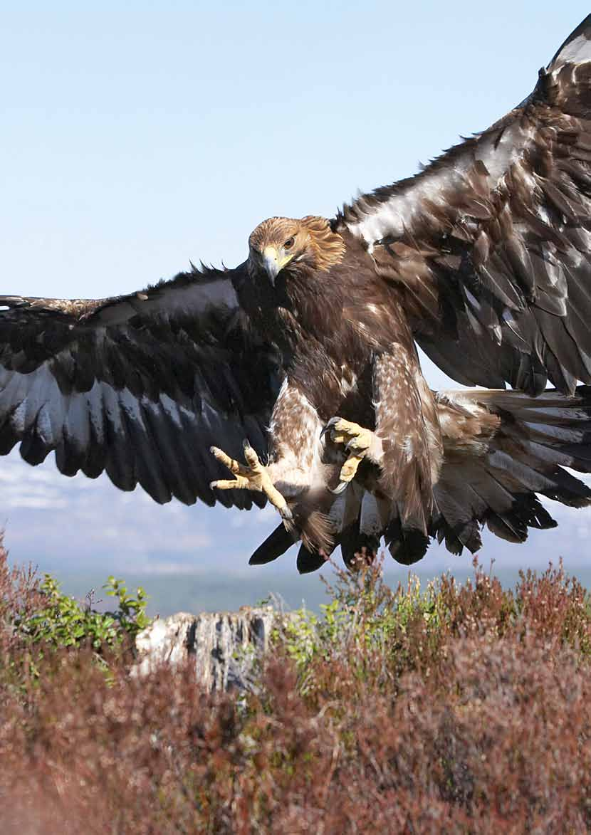 Golden eagles and other animals are under threat from illegal killing,