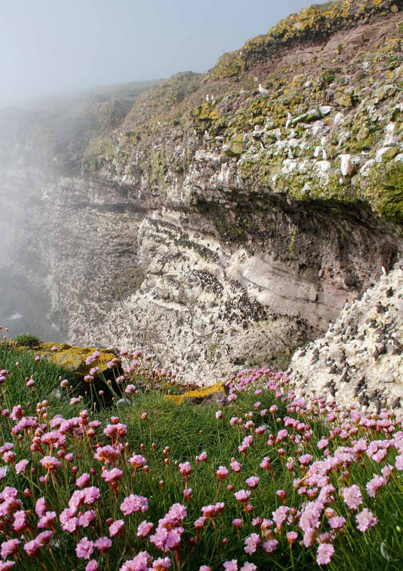 Genevieve Leaper Sea thrift on a cliff top Sea cliffs and cliff