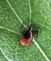 Should I get the tick tested? The Vermont Department of Health does not test ticks for Lyme disease and does not recommend that tick testing be done.