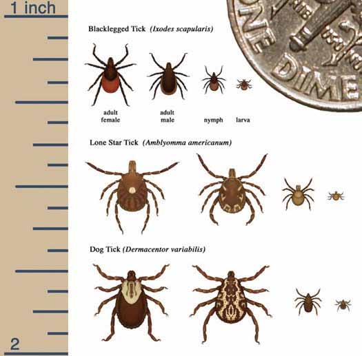 How is Lyme disease spread? The bacteria that cause Lyme disease, Borrelia burgdorferi, enter the body when an infected tick attaches to the skin to take a blood meal.