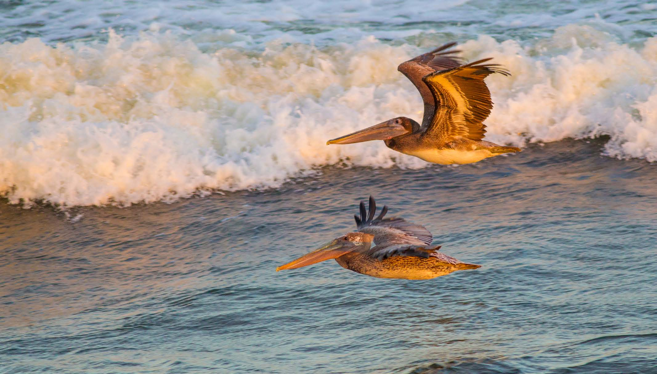 Brown pelicans travel along a Gulf shoreline, September 2014.