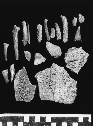 17; photo courtesy of Richard Milo; (b) fish bones (Clarias) from Katanda 9 (scale in cm). Alison S. Brooks. 1989; Klein, personal communication).