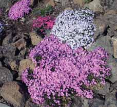 Bloom time: April June USDA hardiness zone 3 9 Lamium species Dead