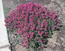 GROUNDCOVERS Sedum species Sedum or stonecrops A groundcover with
