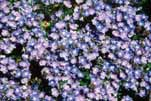 "Height 1 6"" / Spread 12 18"" Flowers: blue, pink, or white Bloom time: May June USDA hardiness zone 3 8 Fire-resistant does not mean fireproof!"