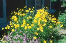 PERENNIALS Coreopsis species Coreopsis or Tickseed Either a short-lived or