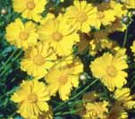 Produces single and double daisylike flowers in various colors.