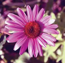 5 2' Flowers: purple, pink, or white Bloom time: July September USDA hardiness zone