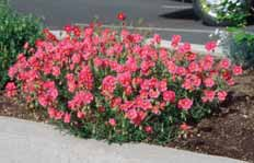 PERENNIALS Helianthemum nummularium Sun rose A moundlike growth habit with graygreen