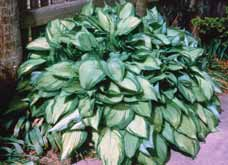 PERENNIALS Hosta species Hosta lily A shade perennial with attractive foliage in various shades of green to bluish-green.