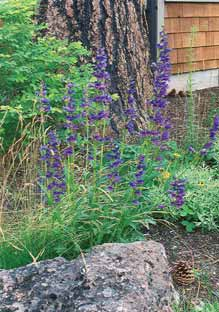 Several varieties and flower colors. Great specimen plant.