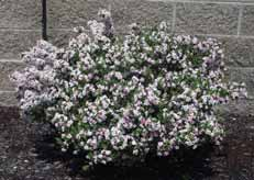 rockrose An evergreen with a compact growth habit, green-gray leaves,