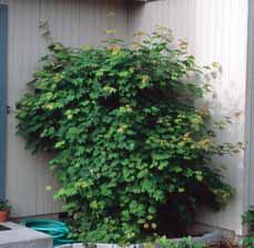 SHRUBS DECIDUOUS Acer circinatum Vine maple A