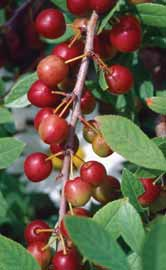 Produces fragrant, white flowers in spring, followed by edible, red (changing