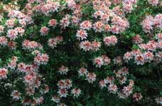 SHRUBS DECIDUOUS Rhododendron occidentale Western azalea A deciduous,