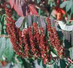 Height 3 6' / Spread 3 6' Flowers: pink USDA hardiness zone 2 7 Rhus