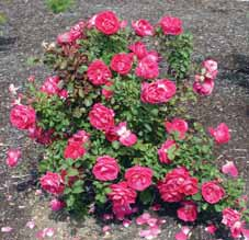 SHRUBS DECIDUOUS Rosa species Hardy shrub rose Low-maintenance shrubs with attractive,