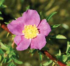 Height 2 6' / Spread 2 6' Flowers: various USDA hardiness zone 2 9 Rosa woodsii Wood s