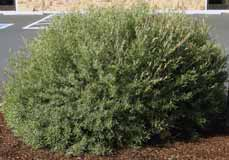 species Willow Fast-growing shrubs with narrow leaves, dense branches, and yellow fall