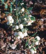 Symphoricarpos albus Snowberry Upright, arching shrub with bluishgreen